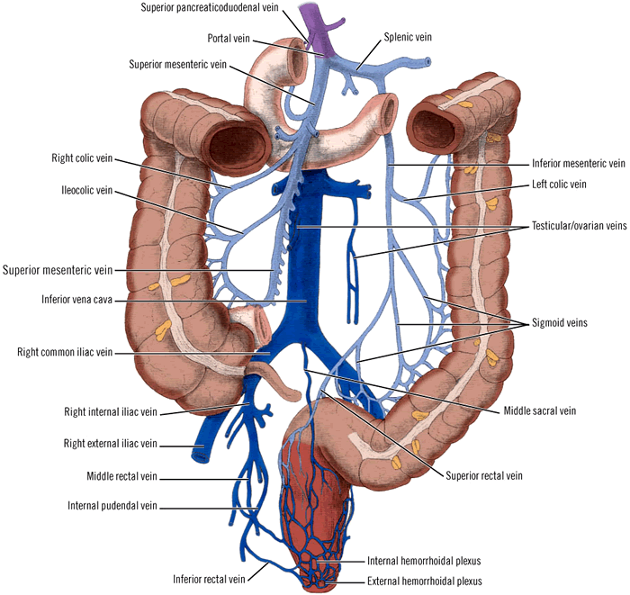 rectum veins